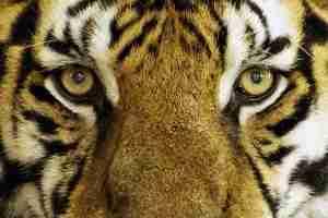 tiger-1155579_960_720