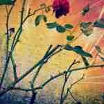 rose-532458_960_720