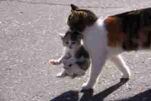 momma-carrying-her-kitten